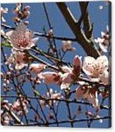 Peach Blossoms Acrylic Print