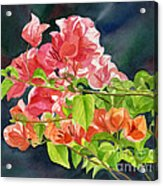 Peach Colored Bougainvillea With Dark Background Acrylic Print by Sharon Freeman