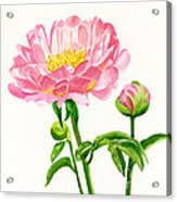 Peach Colored Peony With Buds Acrylic Print