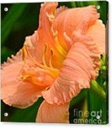 Peach Day Lilly Acrylic Print