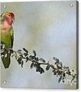 Peach Faced Love Bird Acrylic Print