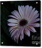 Peach Gerba Daisy  Acrylic Print