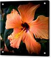 Peach Hibiscus Bloom Acrylic Print
