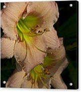 Peach Parfait Daylilies Acrylic Print
