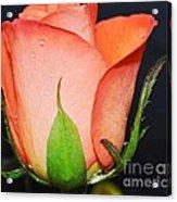 Peach Relish Acrylic Print