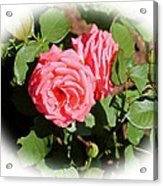 Peach Rose Acrylic Print by Victoria Sheldon