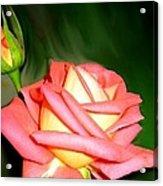 Peach Rose Watercolor Acrylic Print