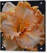 Peach Ruffled Lily Acrylic Print