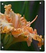 Peach Rufflette - Lily Acrylic Print