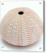 Peach Sea Urchin White Acrylic Print