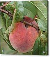 Peach For Harvest   # Acrylic Print