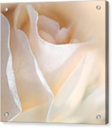 Peaches And Cream Rose Flower Acrylic Print