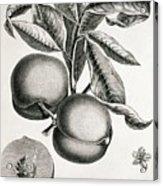 Peaches Acrylic Print