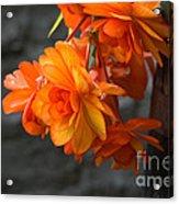 Peachy Begonias Acrylic Print