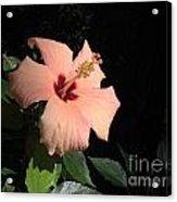 Peachy Hibiscus Acrylic Print