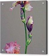 Peachy Prize Winning Iris Acrylic Print