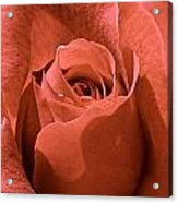 Peachy Rose Acrylic Print