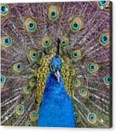 Peacock And Proud Plumage Acrylic Print