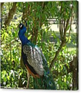 Peacock Beauty Acrylic Print by Ella Char