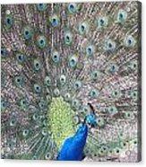 Peacock Bow Acrylic Print