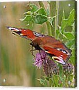 Peacock Butterfly On Thistle Square Acrylic Print