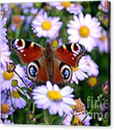 Peacock Butterfly Perched On The Daisies Acrylic Print