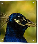 Peacock Closeup Acrylic Print
