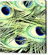 Peacock Colour Acrylic Print