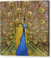 Peacock Courting Acrylic Print