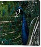 Peacock Dance Acrylic Print