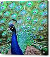 Peacock Delight Acrylic Print