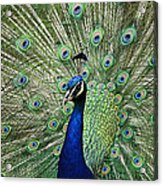 Peacock Display Acrylic Print