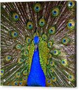Peacock Extraordinaire  Acrylic Print by DerekTXFactor Creative