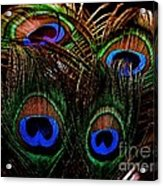 Peacock Eye Feathers Acrylic Print
