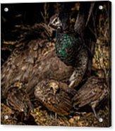 Peacock Family Gathering Acrylic Print