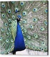 Peacock Fanning Acrylic Print
