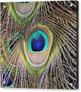 Peacock Feathers Acrylic Print