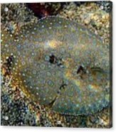 Peacock Flounder Acrylic Print