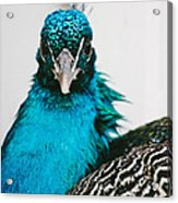Peacock Front View Acrylic Print