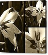 Peacock Gladiolus Triptych Acrylic Print