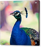 Peacock I. Bird Of Paradise Acrylic Print