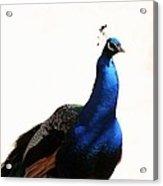 Peacock I Acrylic Print