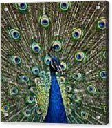 Peacock In Full Pulmage Acrylic Print