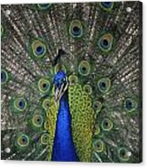 Peacock In Open Feathers, Victoria, Bc Acrylic Print
