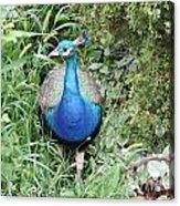 Peacock In The Brush Acrylic Print