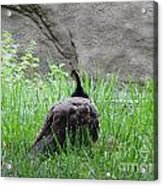 Peacock In The Grass Acrylic Print