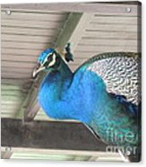Peacock In The Rafters Acrylic Print
