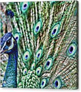 Peacock Acrylic Print by Karen Walzer