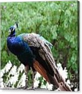 Peacock On A Rock 1 Acrylic Print