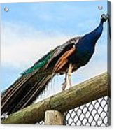 Peacock On Fence 1 Acrylic Print